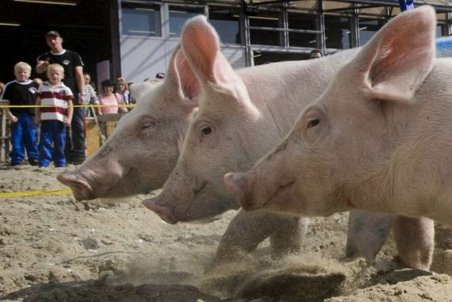"""Pigs from the team """"Rapid pigs from the Jorat"""" round the track during their race on September 16, 2012 at the Swiss fair """"Comptoir Suisse"""" in Lausanne.  AFP PHOTO / FABRICE COFFRINIFABRICE COFFRINI/AFP/GettyImages (AFP/Getty Images)"""