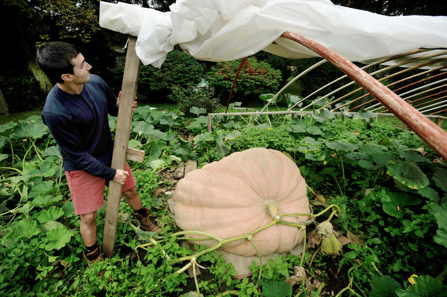 Russ DeGrazia Jr. works around his Atlantic Giant pumpkin in the garden of his parents' home in Brookfield on Wednesday, Sept. 26, 2012. DeGrazia estimates the pumpkin to be around 1,100 pounds. Photo: Jason Rearick / The News-Times