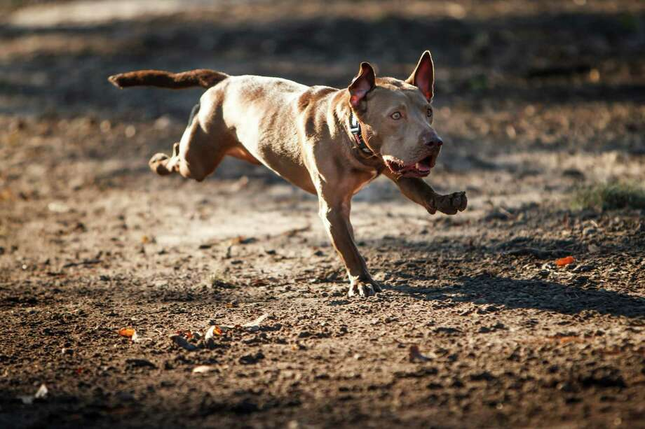 """He looks like a pit bull mixed with a slinky,"" says the adopter.  Photo: Michael Paulsen / © 2012 Houston Chronicle"