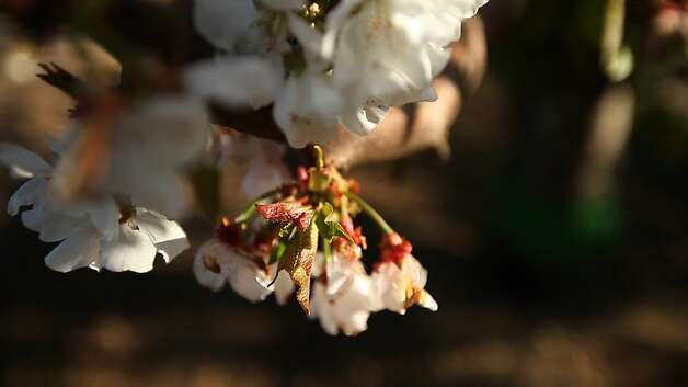 "Cherry blossoms at Lodi Farming's orchard show stress because they have not experienced enough ""chill hours."" Photo: Serene Fang, California Watch"