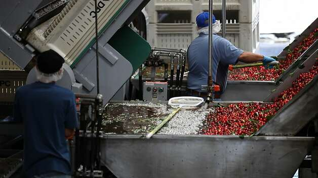 This year, Lodi-based Delta Packing Co. saw another 50 percent drop in cherries from previous years. Photo: Serene Fang, California Watch
