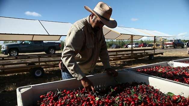 Bing cherries are harvested from Jeff Colombini's orchard in Lodi, where a shorter chilling season has resulted in many stunted, half-grown blossoms. Photo: Serene Fang, California Watch