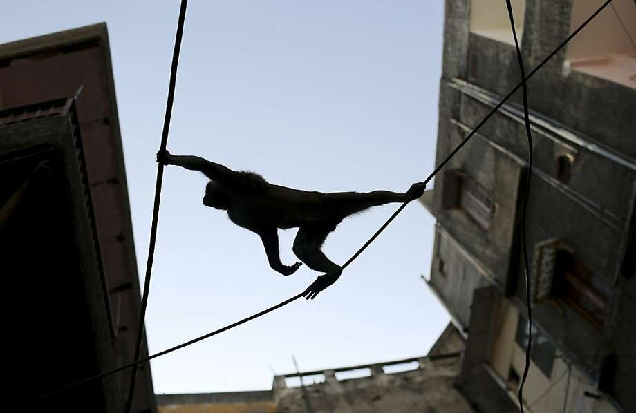 How did the monkey cross the street in New Delhi? Telephone wires. Photo: Kevin Frayer, Associated Press