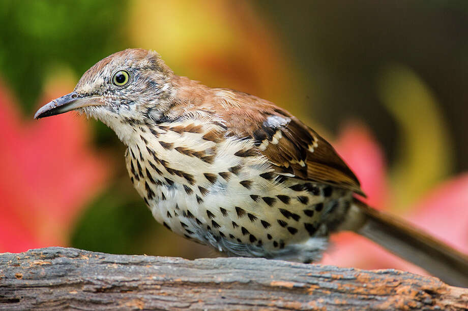 Brown thrashers will be moving into the area as fall progresses. They skulk around on the ground in leaf litter foraging on seeds, insects and berries. Photo: Kathy Adams Clark / Kathy Adams Clark/KAC Productions