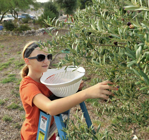 Seventh-grader Samie Oxley  harvests olives from the school's  trees.