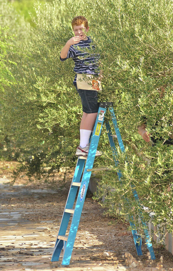 Tejeda Middle School seventh-grader Ryan Polk samples an olive from one of nearly 100 trees on the school grounds. The harvest is part of teacher Randy Guzman's history club. Photo: Robin Jerstad, For The Express-News
