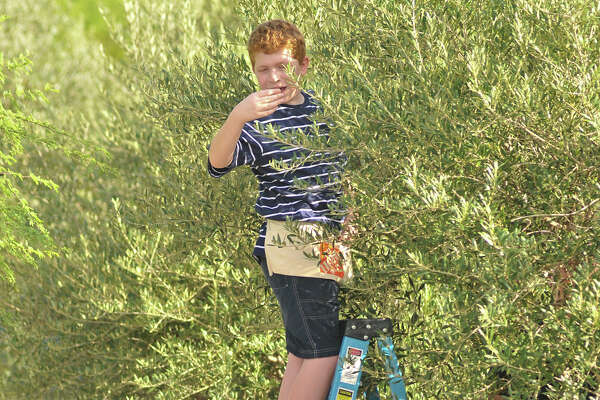 Tejeda Middle School seventh-grader Ryan Polk samples an olive from one of nearly 100 trees on the school grounds. The harvest is part of teacher Randy Guzman's history club.