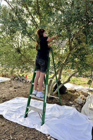 The sheet under sixth-grader Nancy Coe is to prevent any dropped olives from touching the ground, which would make them unusable. Photo: Robin Jerstad, For The Express-News