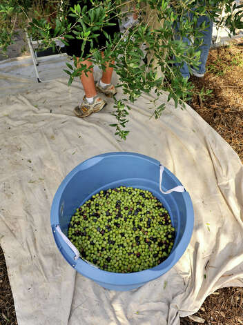 Olives fill a bucket on harvest day. Photo: Robin Jerstad, For The Express-News