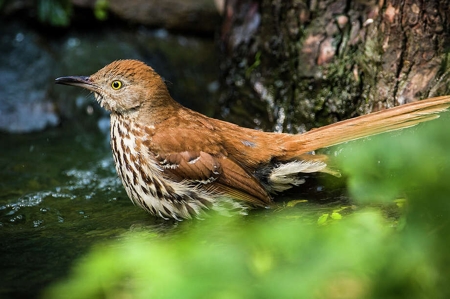 Brown thrashers will be moving into the area as fall progresses.  They breed from East Texas to the Panhandle and through the eastern United States.  Photo Credit;  Kathy Adams Clark.  Restricted use. Photo: Kathy Adams Clark / Kathy Adams Clark/KAC Productions
