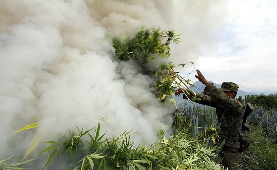 Up in smoke: A Mexican soldier burns marijuana plants seized from a field of blue agave - the plant used for the production of tequila - in El Llano, Hostotipaquillo, Mexico. More than 50 tons of cannabis were destroyed during the operation. Photo: Hector Guerrero, AFP/Getty Images