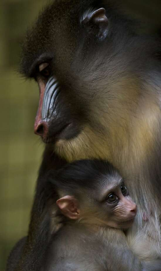 Little Aron clingsto his mother, Sandra, in their cage at Berlin's Zoologischer Garten zoo. The mandrill is a primate of the Old World monkey (Cercopithecidae) family, closely related to the baboon. Photo: John MacDougall, AFP/Getty Images