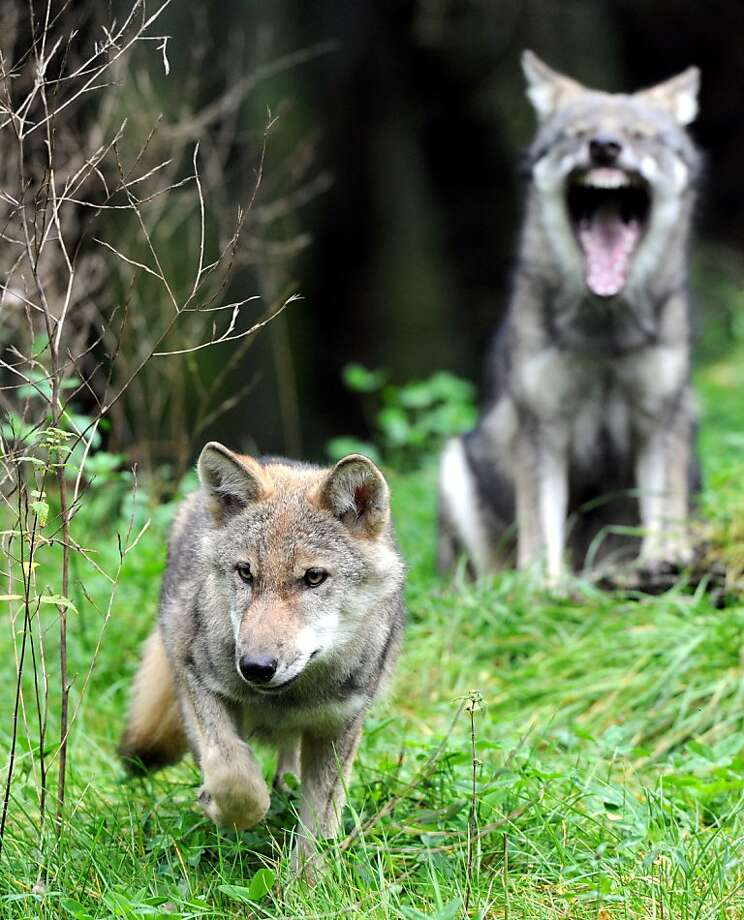 You call that stalking? HAHAHAHAHA! There's always one wiseguy in the wolf pack at a wildlife park in Eekholt, Germany. Photo: Carsten Rehder, AFP/Getty Images