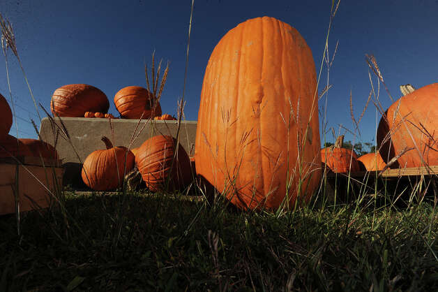 With Texas feeling the effects of drought this year, several pumpkin providers are reaching out of state to provide the festive gourd for local use. Guiseppe Barranco/The Enterprise Photo: Guiseppe Barranco