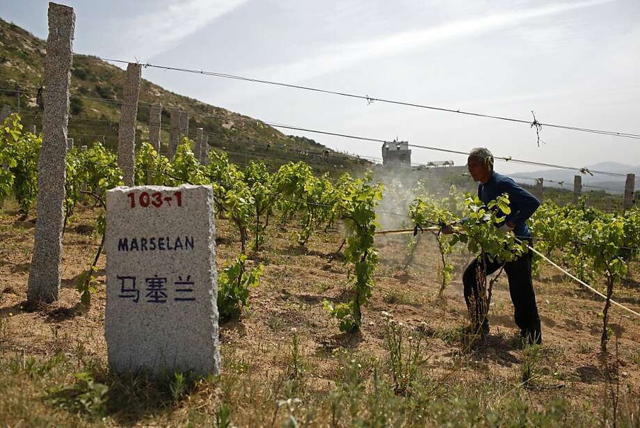 A farmhand tends to grape vines at Treaty Port Vineyards north of Yantai, Shandong Province, China, on Sunday, June 5, 2011. Chinese demand for jewelry, wine, watches and ceramics will continue to drive sales this year even as economic growth slows, according the auction house Sotheby's. Photographer: Qilai Shen/Bloomberg Photo: Qilai Shen, Bloomberg