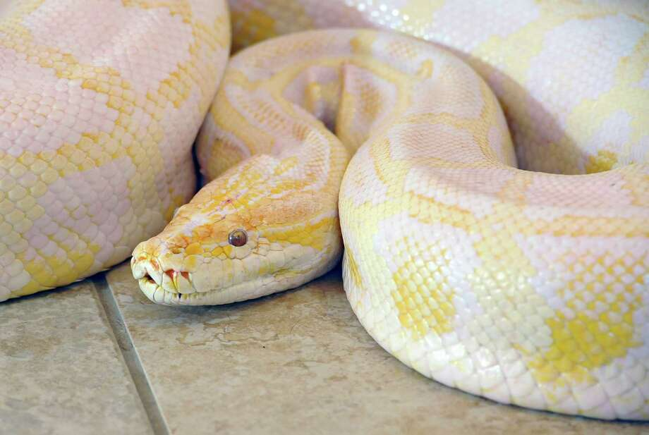 Owners got tips on how to handle pets like this Burmese python. (Beaumont Enterprise) Photo: Dave Ryan, Dave Ryan/The Enterprise