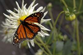 Monarch butterflies are found throughout the vegetables gardens at Esalen Institute in Big Sur, Calif., on Wednesday September 12, 2012.  The Institute is celebrating it's 50th anniversary this year.