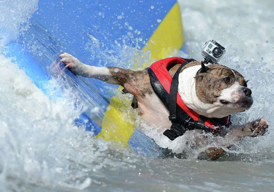 A dog falls off a board during the annual Surf City Surf Dog competition at Huntington Beach in California on September 30, 2012. Some 48 dogs took part in the event, watched by 1,500 spectators.    AFP PHOTO/JOE KLAMARJOE KLAMAR/AFP/GettyImages Photo: JOE KLAMAR, AFP/Getty Images / AFP