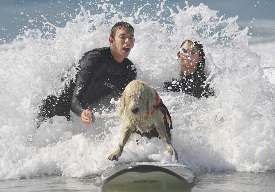 Looking like a wet mop, Brody the labradoodle rides a wave to shore during the 4th Annual Surf City Surf Dog competition Sunday, Sept. 30, 2012, in Huntington Beach, Calif. The pooch belongs to Pam Lucado. Six charities benefited from the efforts of 46 surfing dogs. (AP Photo/The Orange County Register, Mindy Schauer) Photo: Mindy Schauer, Associated Press / The Orange County Register