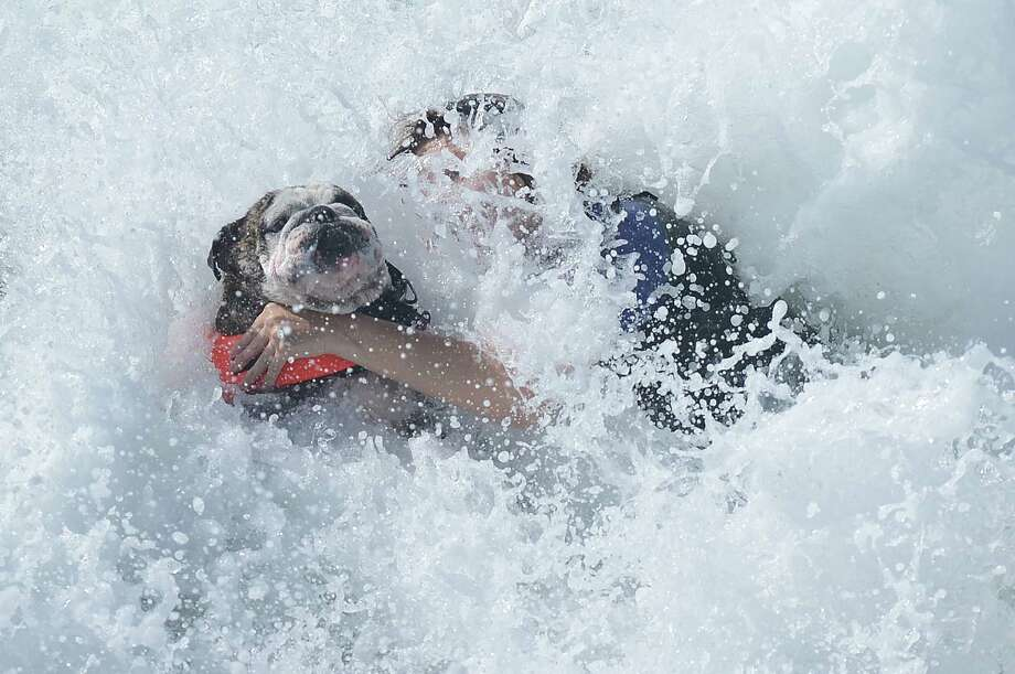 Sir Hollywood is saved by his owner Heather during the annual Surf City Surf Dog competition at Huntington Beach in California on September 30, 2012. Some 48 dogs took part in the event, watched by 1,500 spectators.     AFP PHOTO/JOE KLAMARJOE KLAMAR/AFP/GettyImages Photo: JOE KLAMAR, AFP/Getty Images / AFP