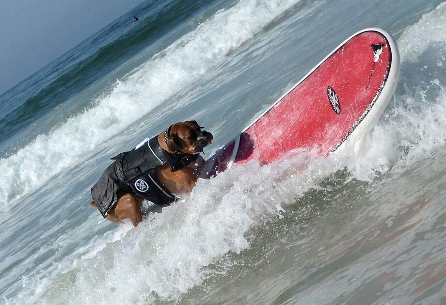 Hanzo, a 4-year-old German boxer, surfs during the annual Surf City Surf Dog competition at Huntington Beach in California on September 30, 2012. An extremely talented surfer, Hanzo learned how to skateboard when he was only 10 weeks old.     AFP PHOTO/JOE KLAMARJOE KLAMAR/AFP/GettyImages Photo: JOE KLAMAR, AFP/Getty Images / AFP