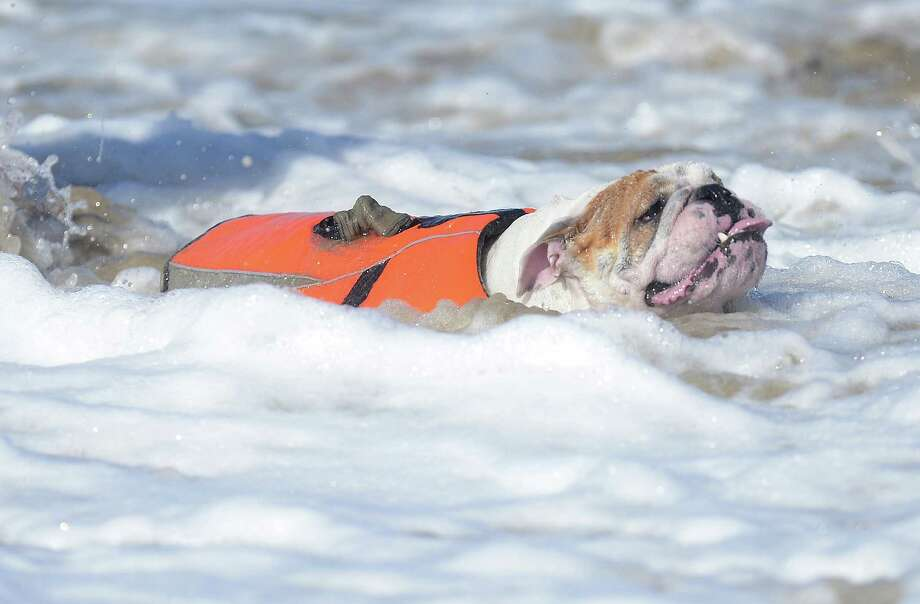 An English Bulldog fights the waters of the Pacific Ocean during the annual Surf City Surf Dog competition at Huntington Beach in California on September 30, 2012. Some 48 dogs took part in the event, watched by 1,500 spectators.    AFP PHOTO/JOE KLAMARJOE KLAMAR/AFP/GettyImages Photo: JOE KLAMAR, AFP/Getty Images / AFP