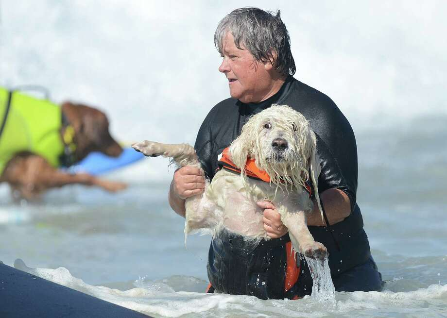 A dog is held by its master during the annual Surf City Surf Dog competition at Huntington Beach in California on September 30, 2012. Some 48 dogs took part in the event , watched by 1,500 spectators.    AFP PHOTO/JOE KLAMARJOE KLAMAR/AFP/GettyImages Photo: JOE KLAMAR, AFP/Getty Images / AFP