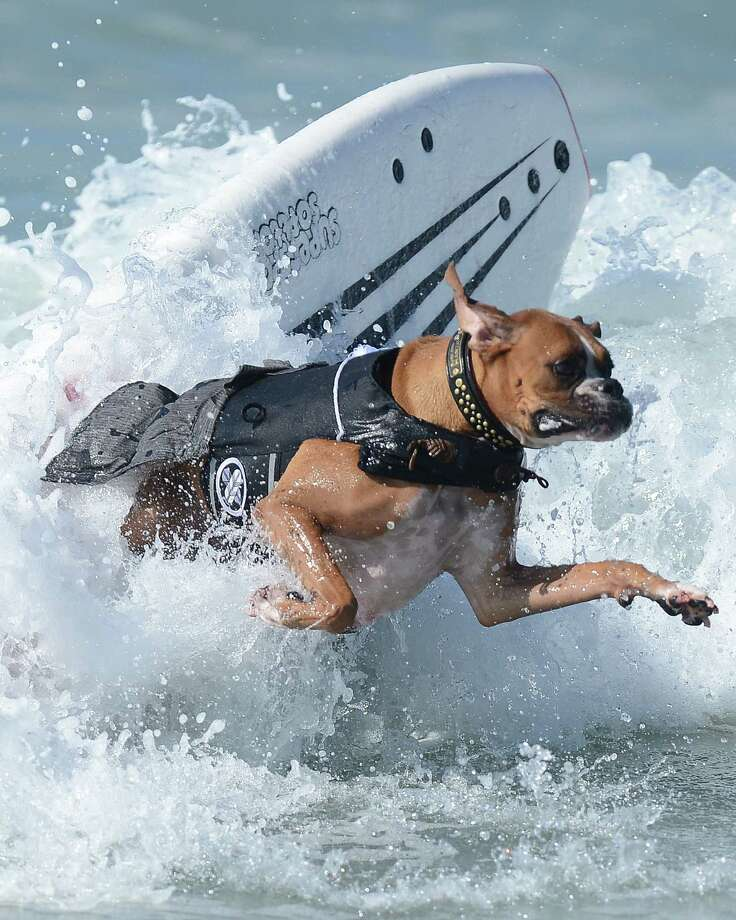 Hanzo, a 4-year-old German boxer, jumps over a wave during the annual Surf City Surf Dog competition at Huntington Beach in California on September 30, 2012. An extremely talented surfer, Hanzo learned how to skateboard when he was only 10 weeks old.    AFP PHOTO/JOE KLAMARJOE KLAMAR/AFP/GettyImages Photo: JOE KLAMAR, AFP/Getty Images / AFP