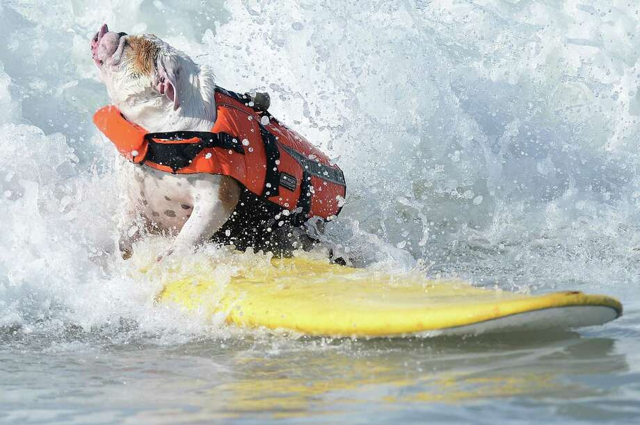 An English Bulldog fights a wave during the annual Surf City Surf Dog competition at Huntington Beach in California on September 30, 2012. Some 48 dogs took part in the event, watched by 1,500 spectators.    AFP PHOTO/JOE KLAMARJOE KLAMAR/AFP/GettyImages Photo: JOE KLAMAR, AFP/Getty Images / AFP