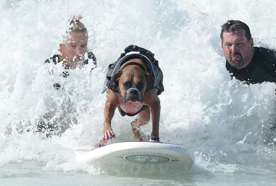 Hanzo, a 4-year-old German boxer, catches a wave during the annual Surf City Surf Dog competition at