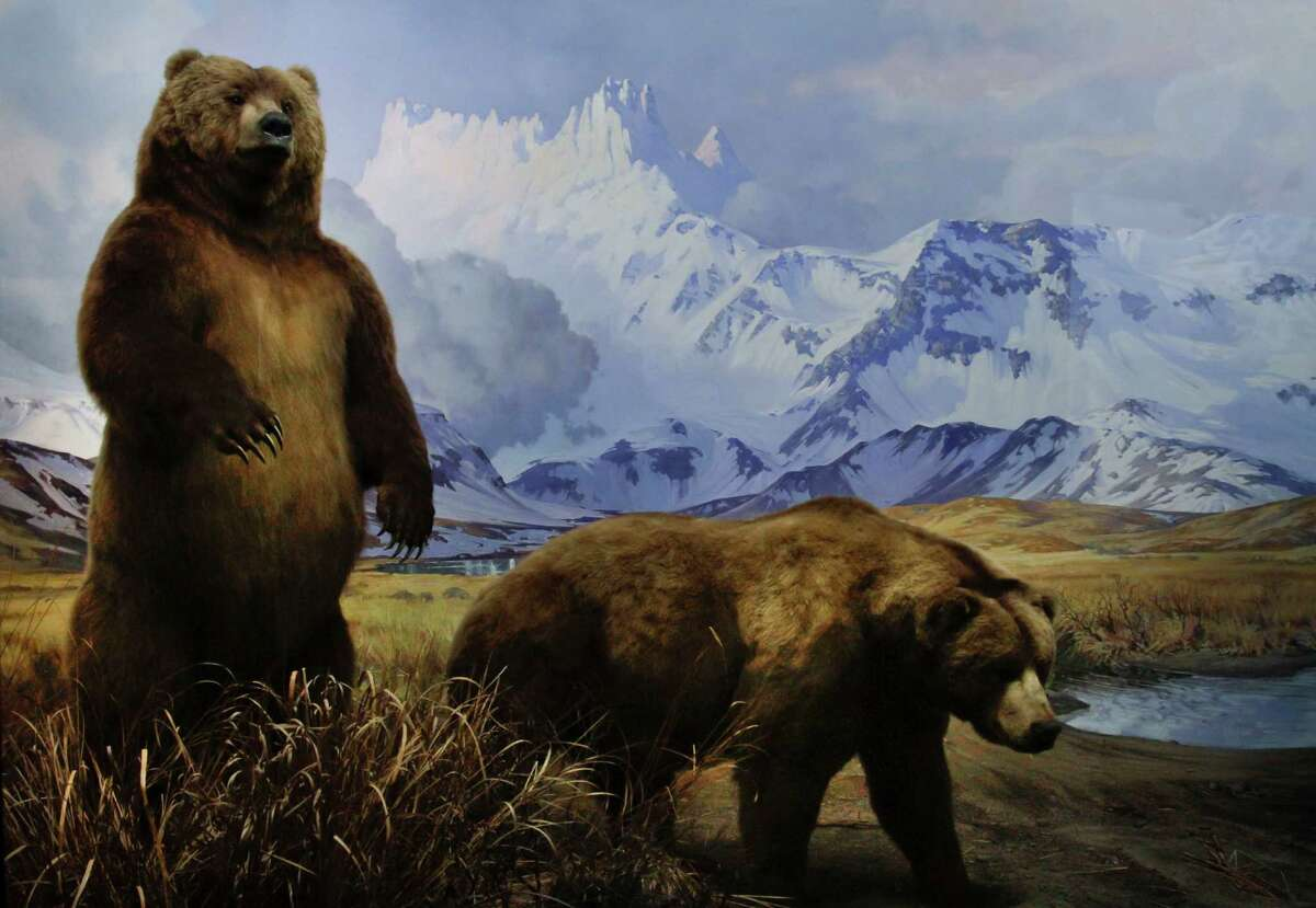 In this Thursday, Sept. 27, 2012 photo, a restored diorama depicting Alaskan brown bears appears on display at the American Museum of Natural History in New York. Restored dioramas in the museum's Hall of North American Mammals reopen as part of the two-story Theodore Roosevelt Memorial after a three-year, $42.1 million restoration project.