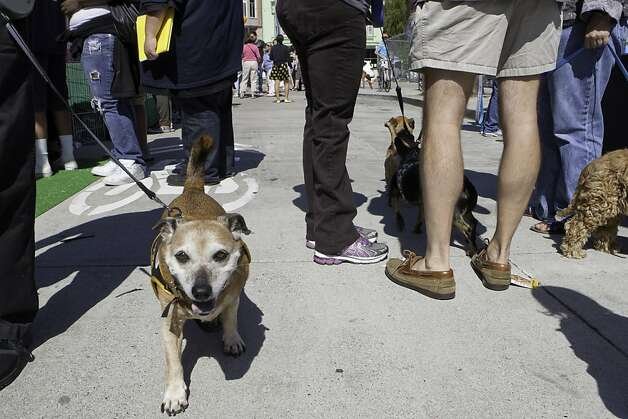 A dog walks through the crowd of dog lovers at the second annual SPCA Dogma event on Sunday, September 30, 2012. Photo: Alejandra Bayardo, The Chronicle