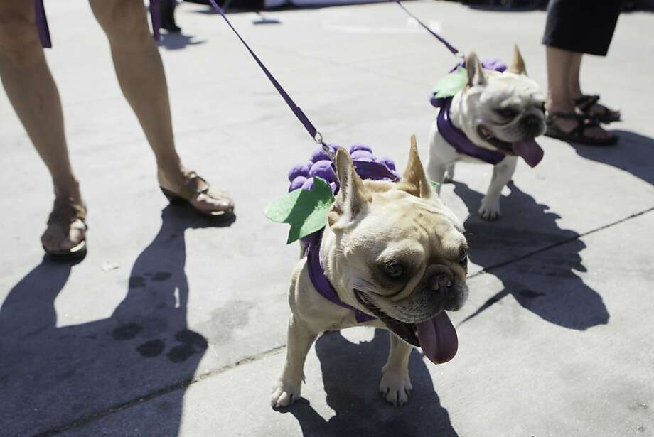 French bulldogs Maxwell and Simon walk along Octavia Street while wearing their grape-dog costumes, at the annual SPCA event on Sunday, September 30, 2012. Regardless of temperatures reaching 88 degrees in San Francisco, dogs and their humans persisted through the heat and enjoyed their time at the event. Photo: Alejandra Bayardo, The Chronicle