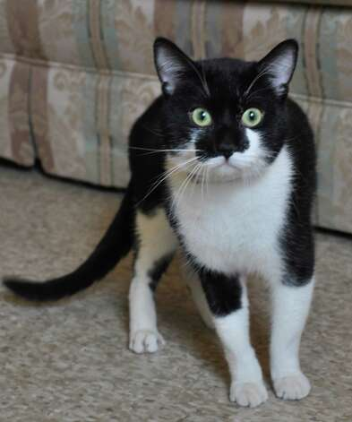 tuxedo cat available for adoption   westport news