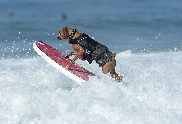 Hanzo, a 4-year-old German boxer, jumps a wave during the annual Surf City Surf Dog competition at Huntington Beach in California on September 30, 2012. An extremely talented surfer, Hanzo learned how to skateboard when he was only 10 weeks old. Photo: Joe Klamar, AFP/Getty Images / SF