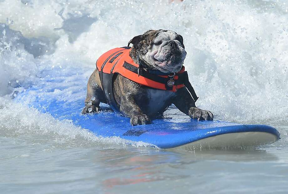 Sir Hollywood Surfs During The 4th Annual Surf City Dog Compeion At Huntington Beach In