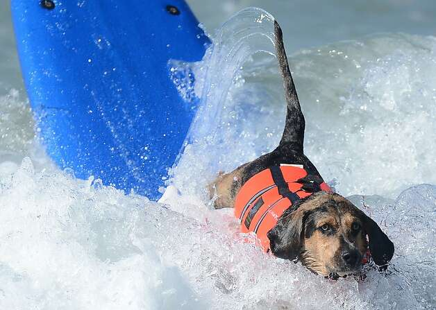 A dog falls off a board during the annual Surf City Surf Dog competition at Huntington Beach in California on September 30, 2012. Some 46 dogs took part in the event, watched by 1,500 spectators. Photo: Joe Klamar, AFP/Getty Images / SF