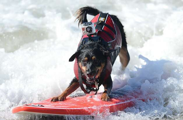 A dog surfs during the annual Surf City Surf Dog competition at Huntington Beach in California on September 30, 2012. Some 46 dogs took part in the event, watched by 1,500 spectators. Photo: Joe Klamar, AFP/Getty Images / SF