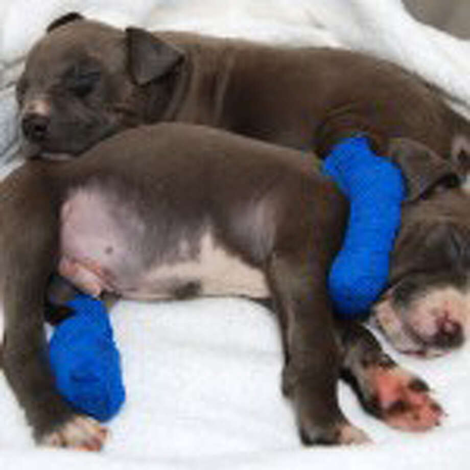 Hudson and Pearl, six-week-old pit bull puppies found abandoned in Albany, snuggle at the Mohawk Hudson Humane Society. (Photo courtesy of Brad Shear)