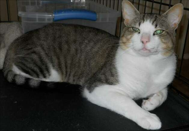 Gypsy is looking for a loving family. Photo: San Antonio Feral Cat Coalition