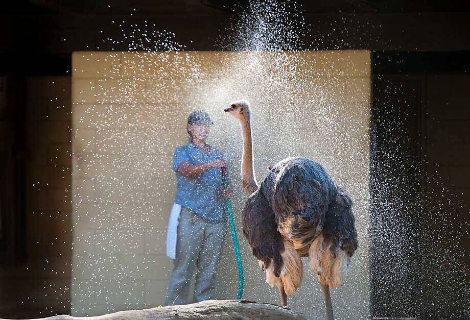 Zoo keeper Mandy Zachgo cools off Marzipan, a female ostrich with a hose shower, a daily ritual on hot days at the zoom in Sacramento, Calif., Tuesday, Oct. 2, 2012. Animals at the Sacramento Zoo dealt with the record-breaking valley heat. Photo: Randy Pench, Associated Press