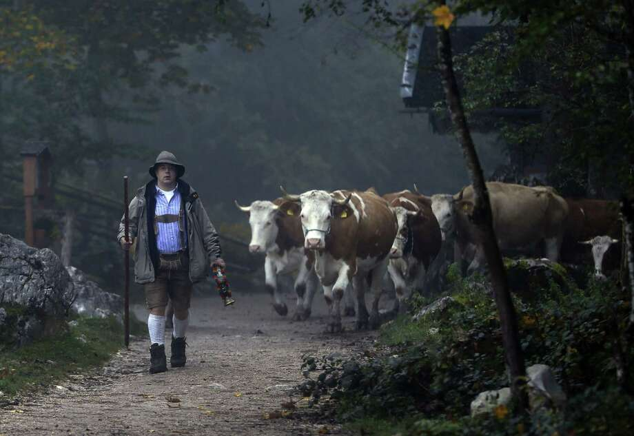 A Bavarian herdsman leads his beasts on a path to a boat that carry them across Lake Koenigssee near Berchtesgaden, southern Germany, Wednesday, Oct. 3, 2012. The trip by boat is the only way to bring the cattle from their remote summer mountain pastures back to their homestead. (AP Photo/Matthias Schrader) Photo: Matthias Schrader, Associated Press / AP