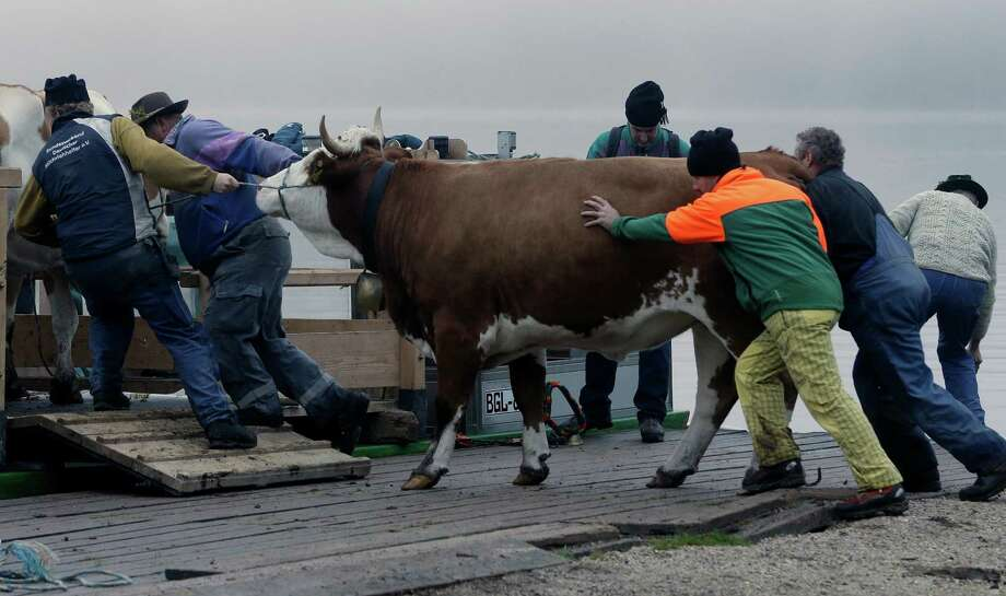 Bavarian herdsman drive their beasts on a boat that carries them across Lake Koenigssee near Berchtesgaden, southern Germany, Wednesday, Oct. 3, 2012. The trip by boat is the only way to bring the cattle from their remote summer mountain pastures back to their homestead. (AP Photo/Matthias Schrader) Photo: Matthias Schrader, Associated Press / AP