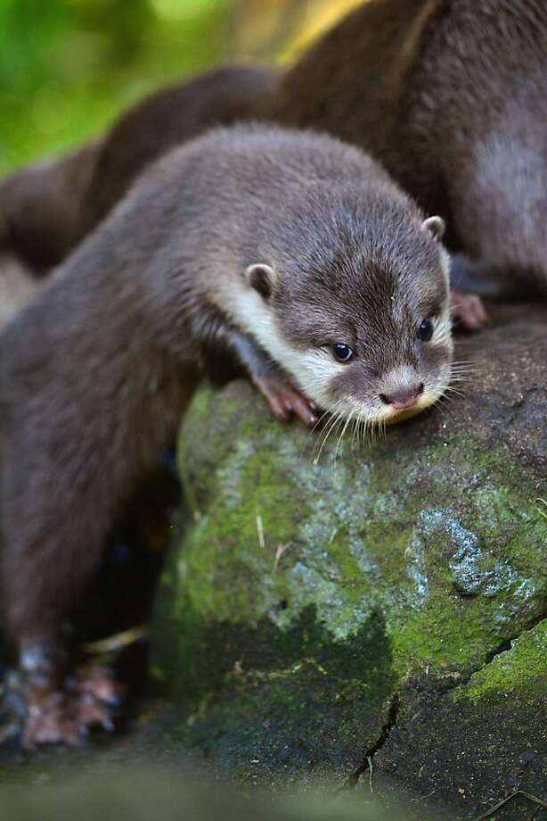 Welcome back, otter:Yeah, we tease him a lot when he's leaning on a rock. Welcome back, welcome back, welcome back, welcome back ... (A short-clawed otter pup leaves its den and greets its public at the Edinburgh Zoo.) Photo: Jeff J Mitchell, Getty Images