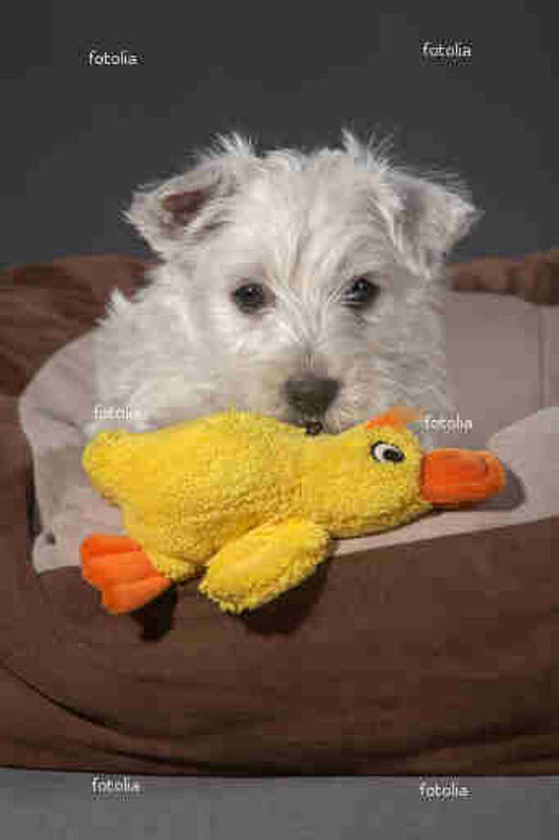 Some male dogs exhibit behavior with stuffed animals that could be interpreted as paternal. / iBart