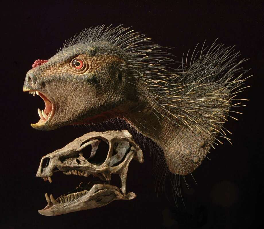 Skin, scales and quills may have distinguished the skull of a newfound species, Pegomastax africanus, one of the smallest dinosaurs ever discovered. Photo: TYLER KEILLOR / TYLER KEILLOR