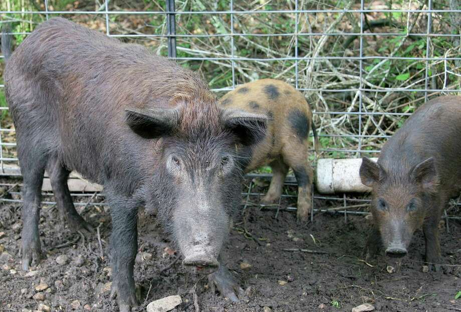 Operators of helicopter services offering aerial gunning for feral hogs have seen increased interest since the 2011 Texas Legislature liberalized rules allowing shooters to pay for the opportunity to help reduce the burgeoning population of the invasive, destructive pigs. Photo: Picasa