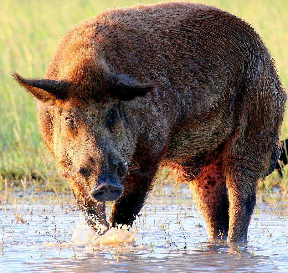 Feral hogs are as adaptable and prolific as they are destructive. Wildlife managers estimate it would take annually removing two-thirds of the pig population, estimated to be 2.6 million swine, to stabilize the population. Photo: Shannon Tompkins, Houston Chronicle