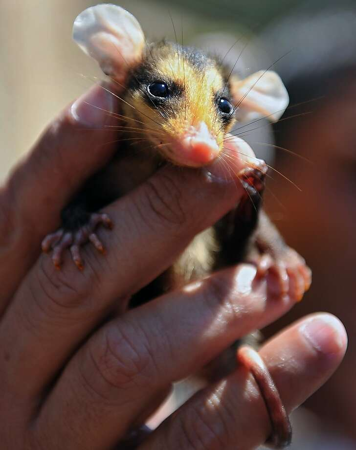 Looks like a mouse:Has a mousy tail. And certainly its ears are Mickey-like. But it's no rodent. This resident of the Riozoo in Rio de Janeiro is a Brazilian gamba (opossum), specifically the Big-Eared Opossum. Photo: Vanderlei Almeida, AFP/Getty Images