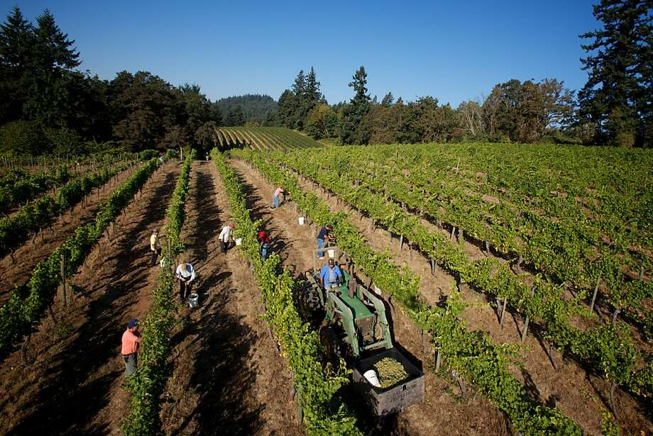 The Eyrie Vineyards, McMinnville, Oregon -- Winemakers are in full harvest and production mode in Western Oregon as the current crop of grapes are the best in the past  few growing seasons. Photo: Bruce Ely, Special To The Chronicle